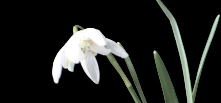 Solitary Snowdrop